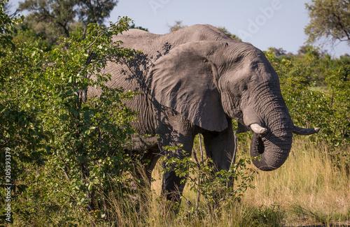 Elephant drinking Poster