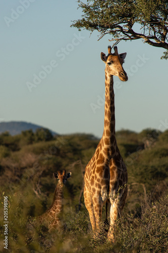 Giraffe and baby Poster