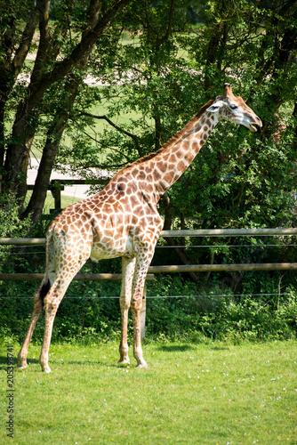 Girafe du cap Planète Sauvage Nantes France