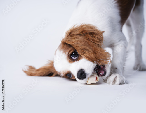 A Cavalier King Charles spaniel eating a bone on a white background