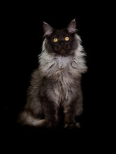 Cat Maine Coon On A Black Back...