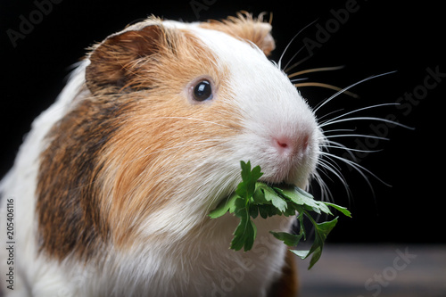 Fotografía  A small guinea pig feeds on parsley leaves