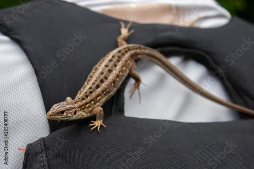 Little brown lizard on the man. Poster