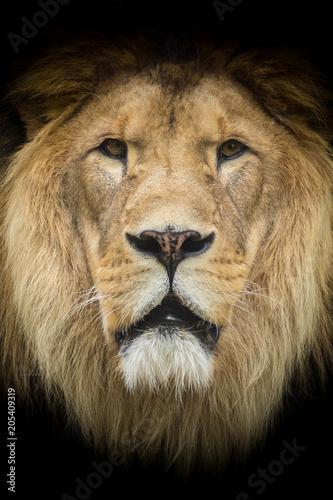 Foto op Plexiglas Leeuw Lion King of the Jungle