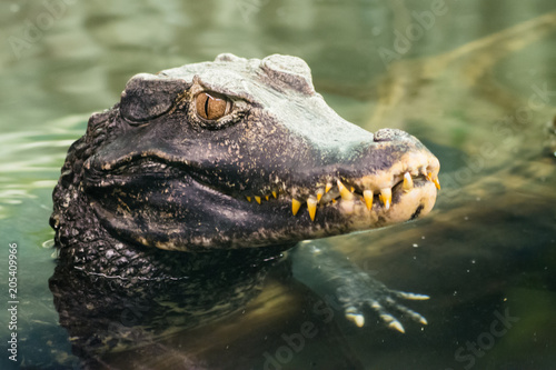 Photographie Caiman crocodilus (Crocodilia)