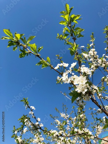 Fotobehang Bomen Beautiful summer tree with small white flowers