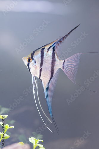 angelfish - Pterophyllum scalare Wallpaper Mural