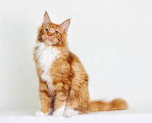 Cat Maine Coon On White Backgr...