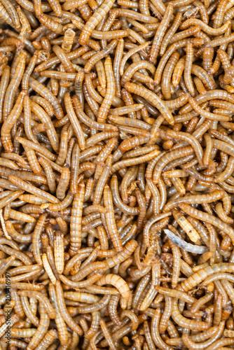 tenebrio molitor - Mealworms