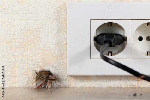 closeup mouse (Mus musculus)  climbs into a hole in the wall with electric outlet. Mice control concept. Extermination.