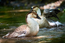 Chinese Goose Close-up, Goose ...