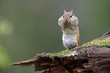 Eastern Chipmunk standing on a mossy log with its cheep pouches full of food