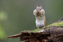 Eastern Chipmunk Standing On A...