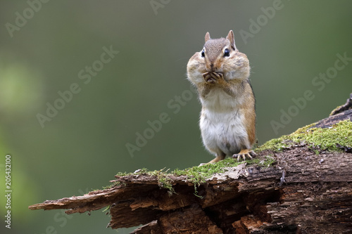 In de dag Eekhoorn Eastern Chipmunk standing on a mossy log with its cheep pouches full of food