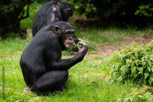 Canvas Chimp Eating