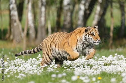 Sibirischer Tiger in Blumen