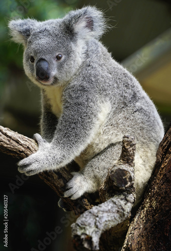Australian koala large head with round, fluffy ears and large, spoon-shaped nose