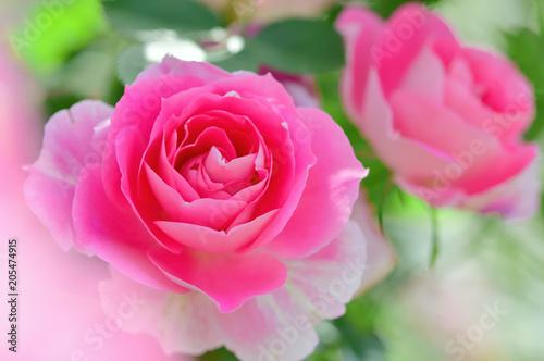 Deurstickers Roze バラの花