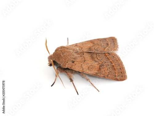 Cuadros en Lienzo Common quaker moth Orthosia cerasi on white background