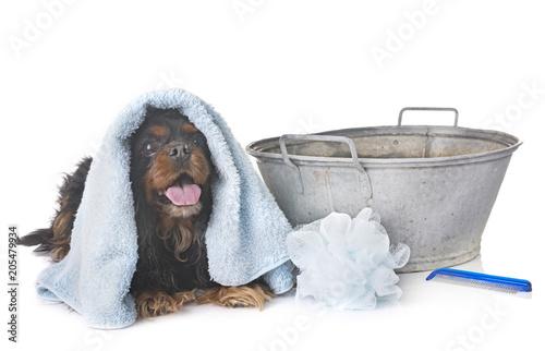 Fotografia cavalier king charles and towel