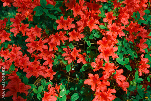 Papiers peints Azalea Red azalea bush in the garden
