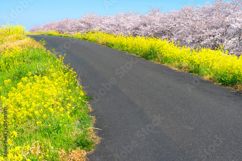 Cherry blossoms and Rapeseed blooms at Kumagaya Arakawa Ryokuchi Park in Saitama,Japan.