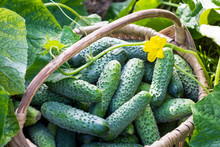 Cucumbers In The Basket And Blossom Of Cucumber On The Vine , Agriculture And Harvest Concept