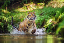 Siberian Tiger Running In The ...
