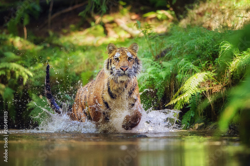 In de dag Tijger Siberian tiger running in the river. Tiger with hsplashing water