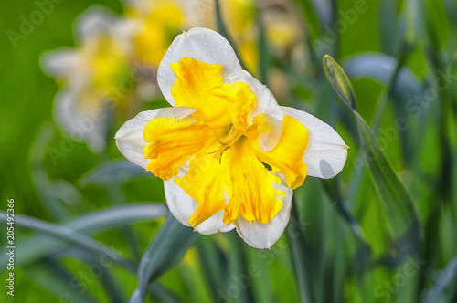 Poster Narcis White daffodil with a yellow middle is lit by the summer sun