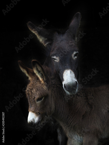 Foto op Canvas Ezel Donkey and Foal