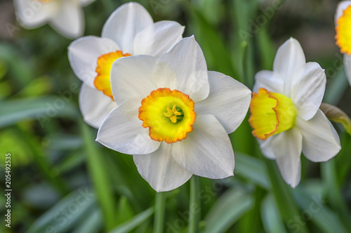 In de dag Narcis Narcissus genus monocotyledonous plants of the family Amaryllis