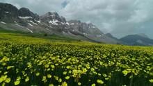 Yağlı Menekşe çiçekleri V...