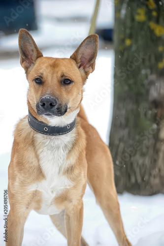 Foto  redhead dog crossbreed husky