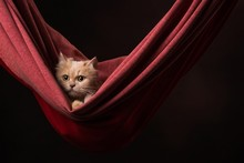Attractive Punch Face Persian Cat In Hammock.