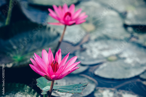 Staande foto Lotusbloem Top view of beautiful pink lotus flower with green leaves in pond