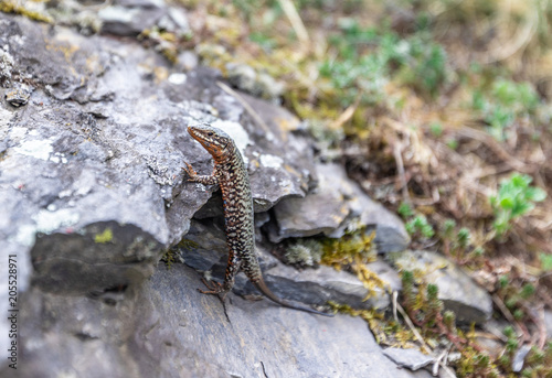 Lizard sits on the rocks among the green grass Poster