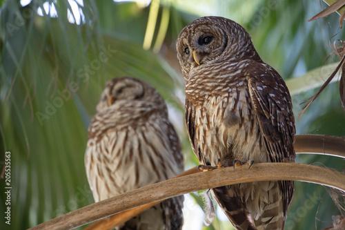 Photo  Barred Owls