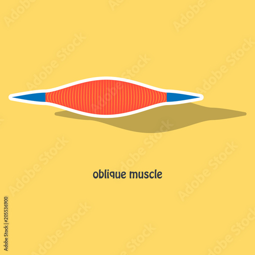 Fotografie, Tablou  Sticker External Oblique muscles of chest, thorax, brisket, breast, bust - didac