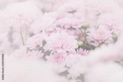 Pink chrysanthemum flower (Dendranthemum grandifflora) in soft focus with overla Poster