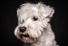 White Schnauzer Dog Portrait