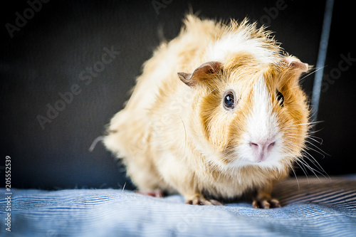 Cochon Dinde Couleur Caramel Buy This Stock Photo And Explore