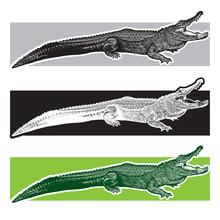 American Alligator. Florida Ga...