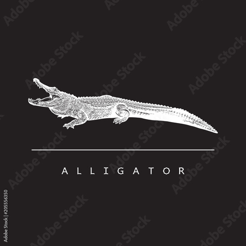 Fototapeta premium American alligator (Alligator mississippiensis) - vector image. White illustration in engraving style of crocodilian reptile isolated on black background, design element for logo or template.