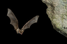 Bat Buzzard, Myotis Myotis, Flight In His Cave
