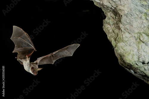 Bat buzzard, myotis myotis, flight in his cave Fototapet