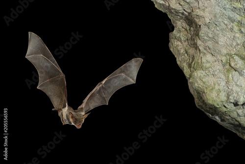 Billede på lærred Bat buzzard, myotis myotis, flight in his cave