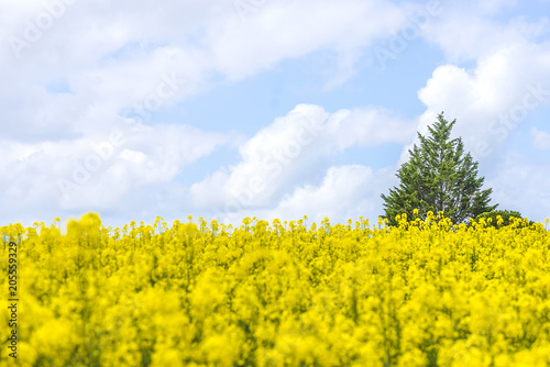 Staande foto Meloen Beautiful spring landscape: green tree in the field of blooming yellow rape and blue sky with white clouds