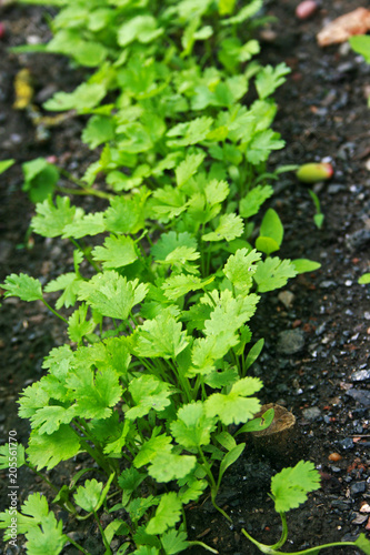 A row of fresh green coriander
