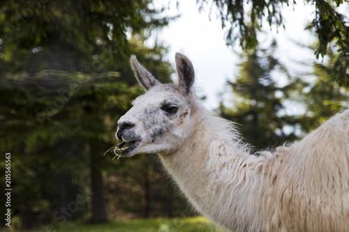 Staande foto Lama Alpaka Portrait